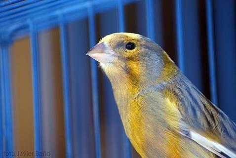 笼子里的金丝雀