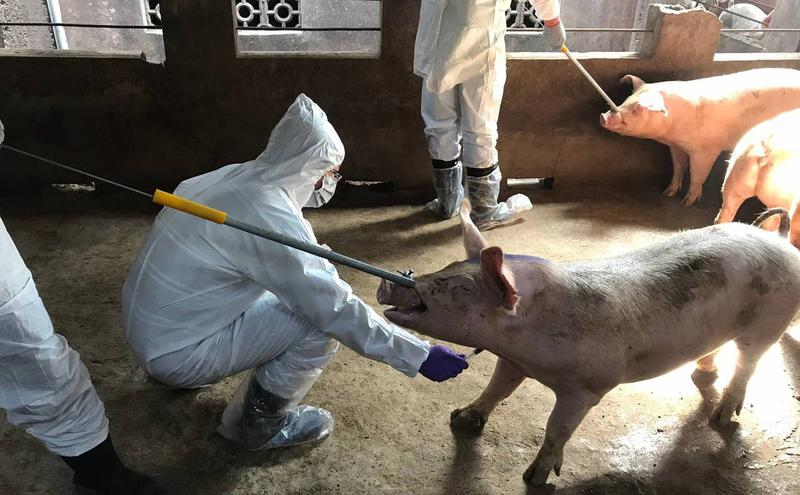 台湾金门市政府在为猪只做检测。(图片来源:中央社)