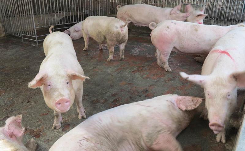 肺炎疫情还在烧 中国3月以来又爆10起非洲猪瘟