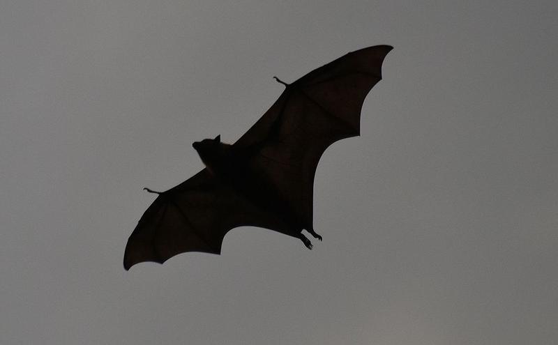 灰頭狐狸蝙蝠