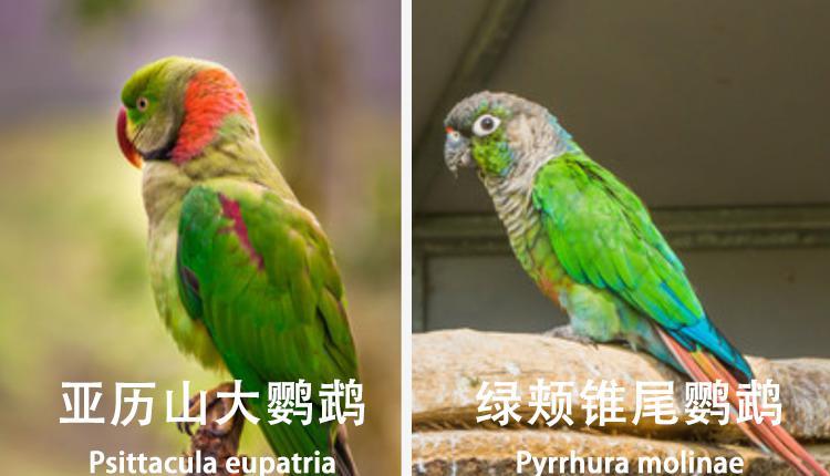 亚历山大鹦鹉与绿颊锥尾鹦鹉
