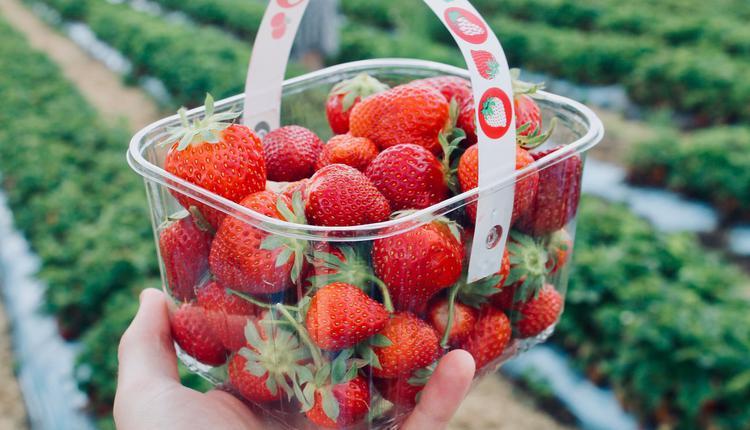 澳洲背包客骤减5万人 草莓烂在地里没人摘