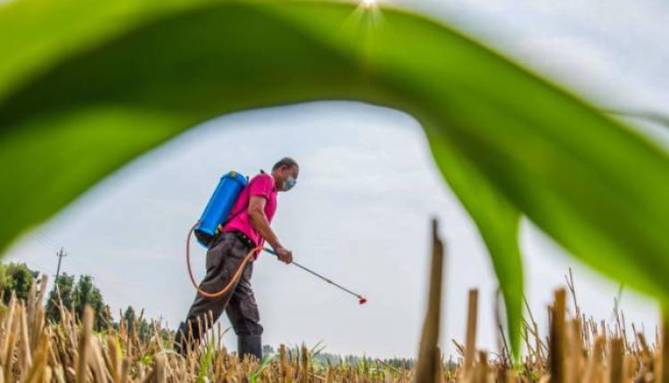 山东潍坊的农民正在向庄稼喷洒农药