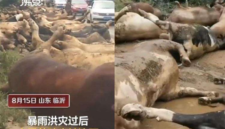 山东沂南一养牛场150头牛被洪水冲走