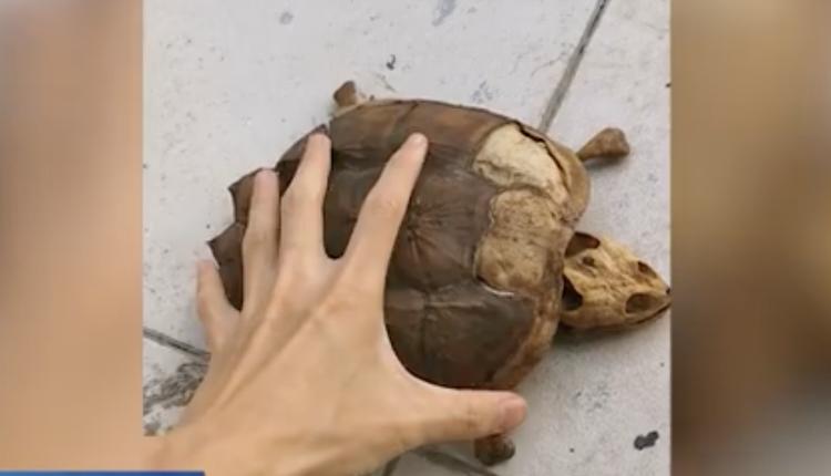武汉林同学的宠物龟只剩下骨架和龟壳(图片来源:微博)