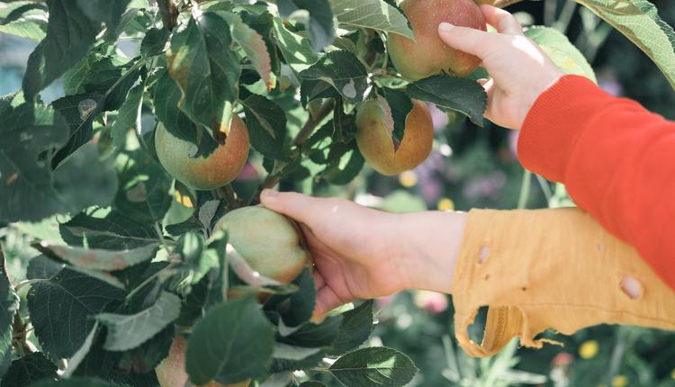 澳洲计划让难民下乡摘水果 换取永久居留权