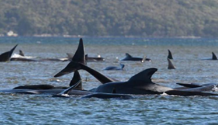 塔州270头领航鲸搁浅