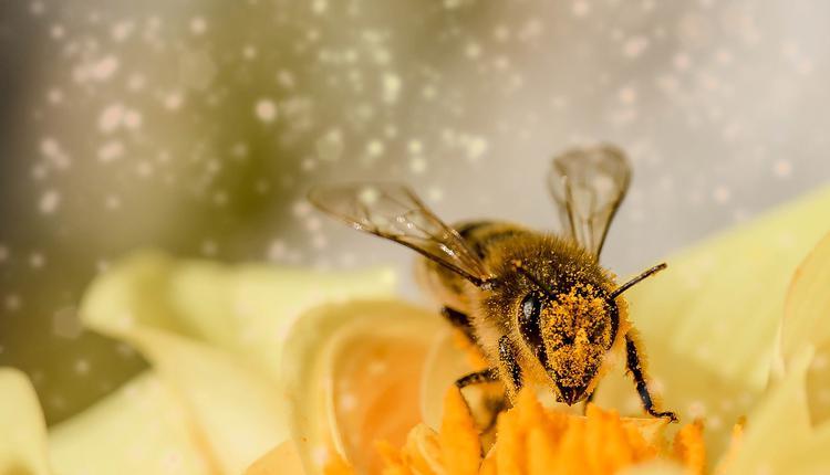 花粉和蜜蜂