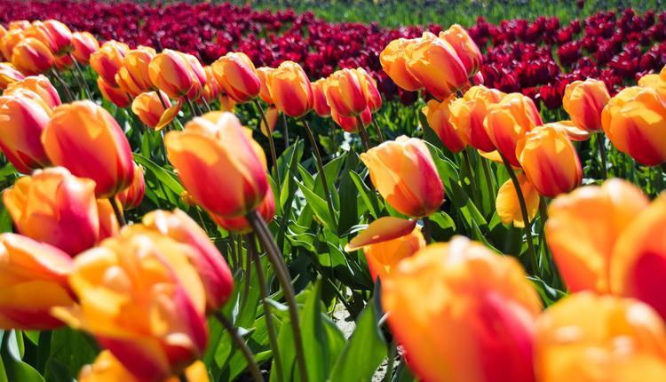 今年9月26日至10月31日南半球最大郁金香节正式登场,在这里你能够看到繁花盛开的壮观景象