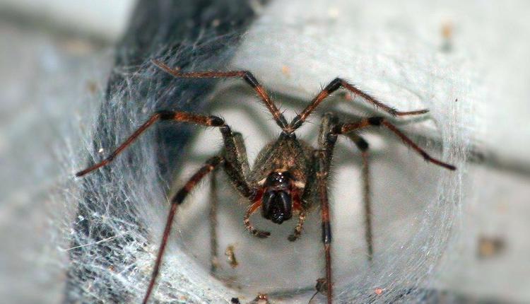 漏斗网毒蜘蛛
