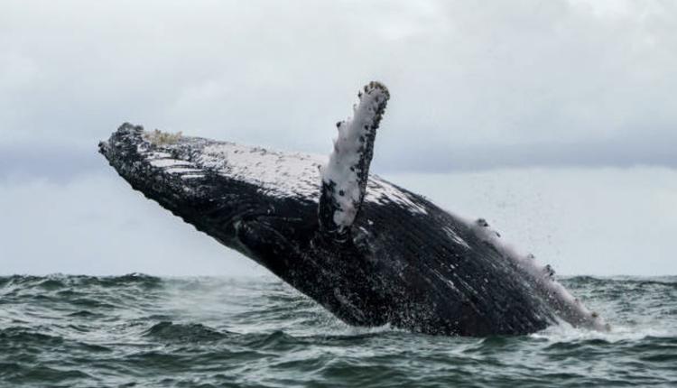 座头鲸,示意图