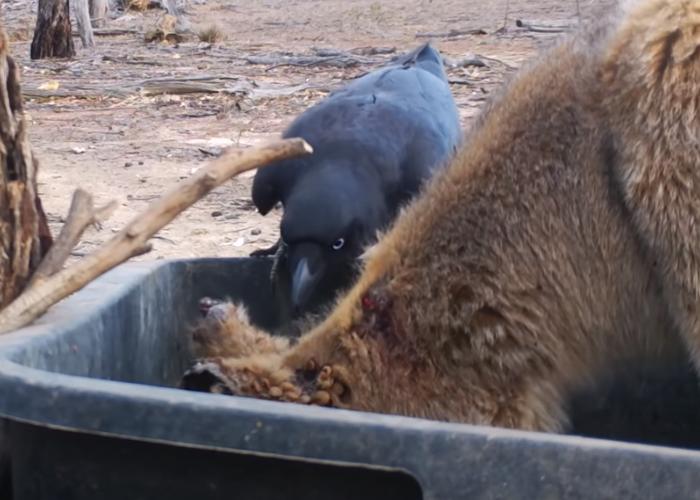 一只大乌鸦飞到小袋鼠的旁边,想要吃掉这些壁虱,饱餐一顿。