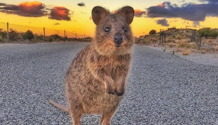 短尾矮袋鼠Quokka