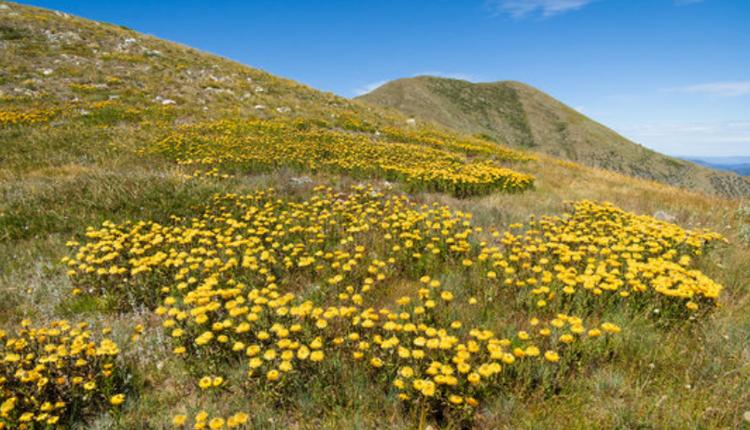 羽毛顶山(Mount Feathertop)位于高山国家公园内