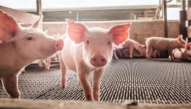 华为业务跨度大得让人诧异 手机做不了就去养猪
