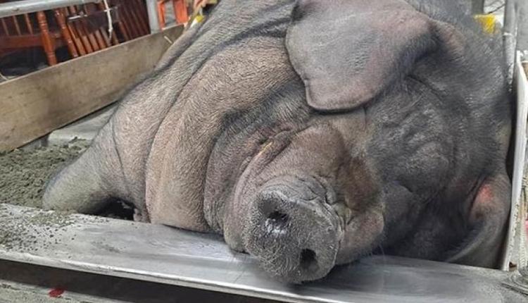 神猪竞赛今年特等奖由莺歌区廖姓男子所饲养的1,614台斤获得