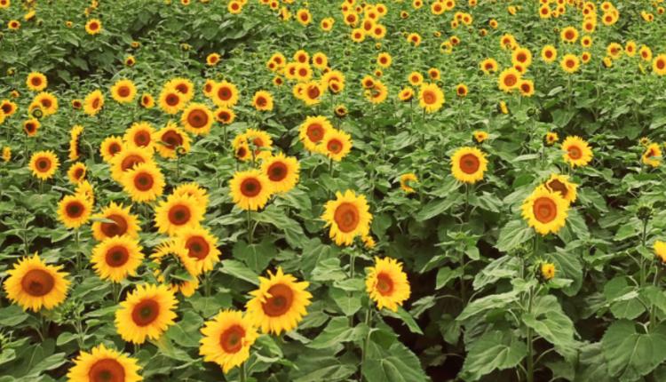图/ Pick Your Own Sunflowers官网