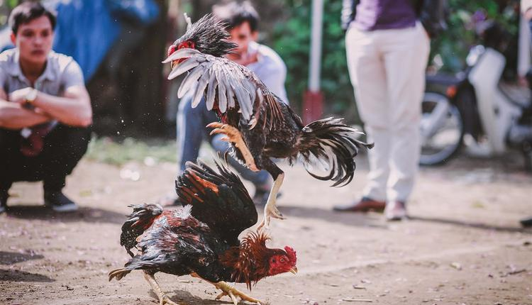 斗鸡示意图