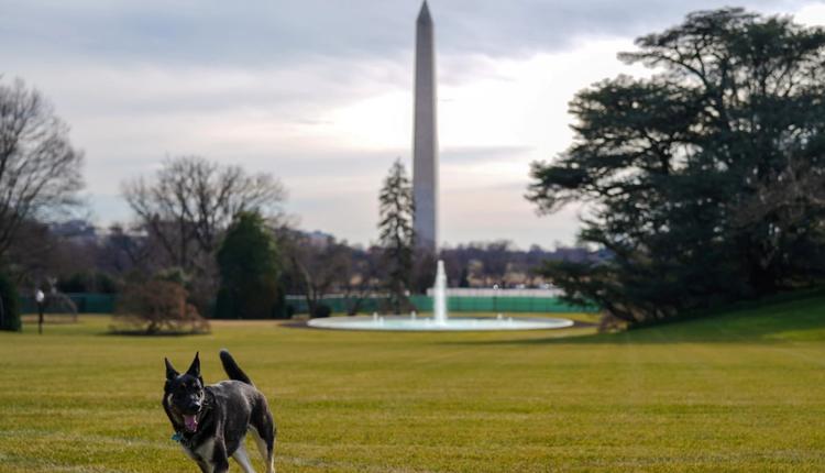 """拜登的两只爱犬之一""""少校""""在从特拉华州抵达白宫后探索南草坪"""