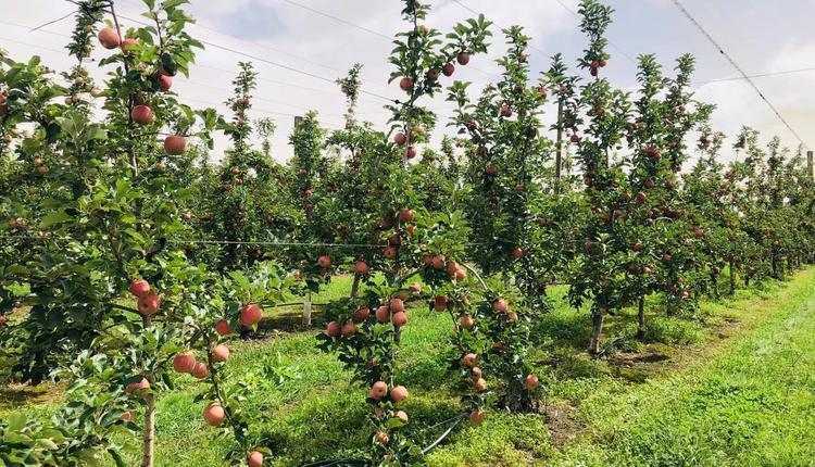 摘水果 农场 郊外