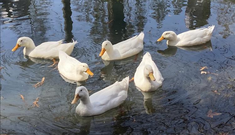 鸭子 duck