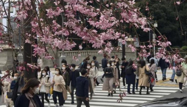 日本樱花开放