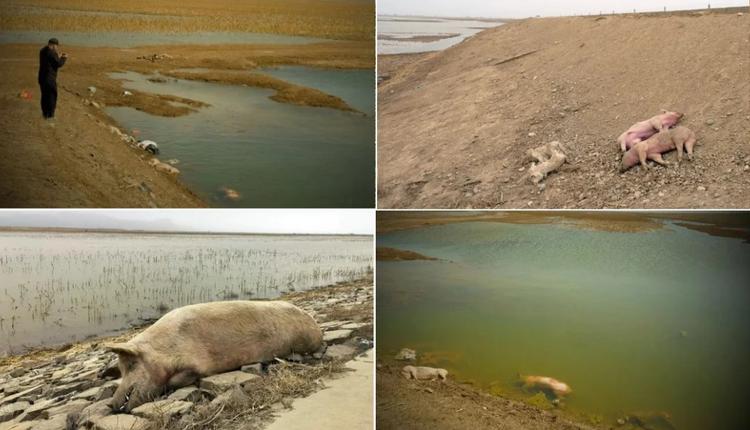 内蒙黄河段惊现大量死猪