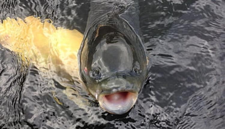 鲤鱼示意图 (图片来源:Piqsels)