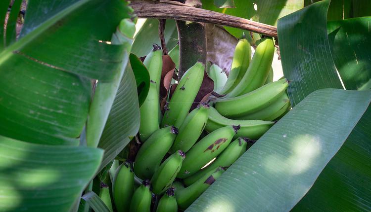 香蕉树,香蕉