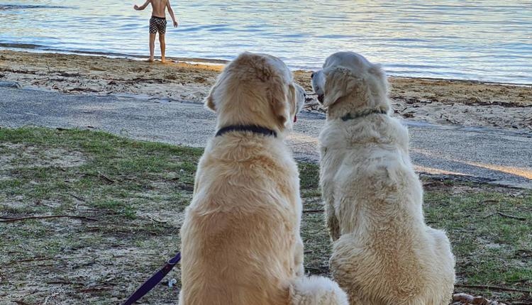 狗狗 宠物狗 导盲犬