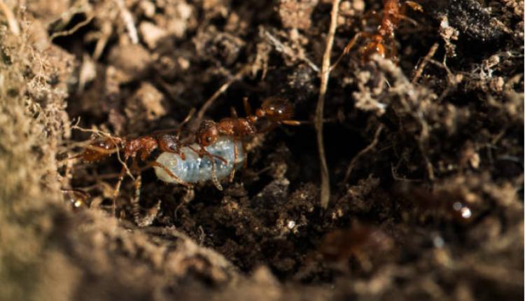 图为蚂蚁示意图