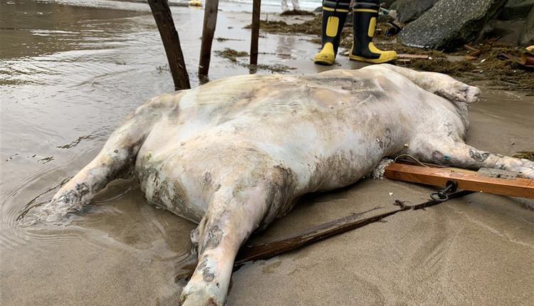 新北漂浮死猪