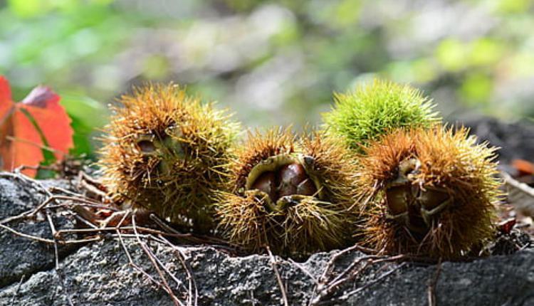 秋季板栗(图片来源:Piqsels)