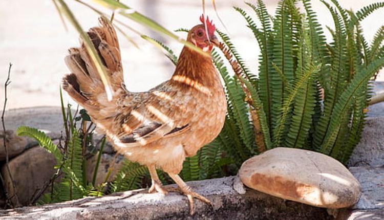 公鸡示意图(图片来源:Piqsels)