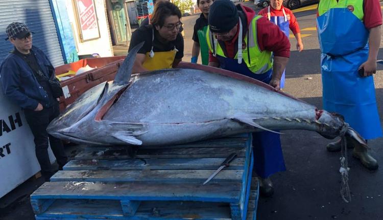 澳渔民捕获271公斤金枪鱼 有望打破新州记录