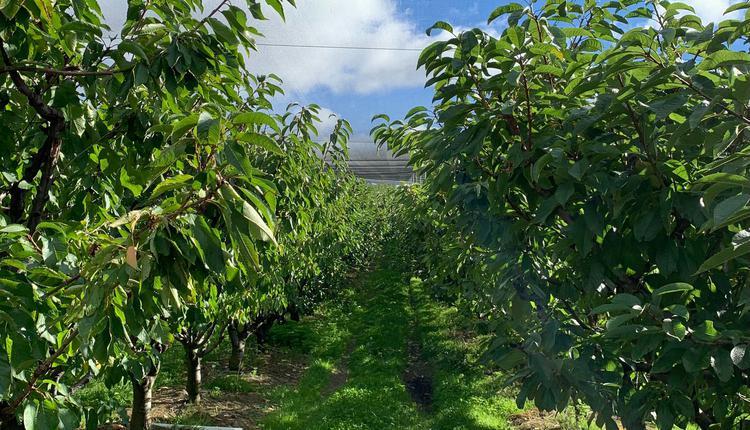 农场 塔州车厘子 果园 樱桃