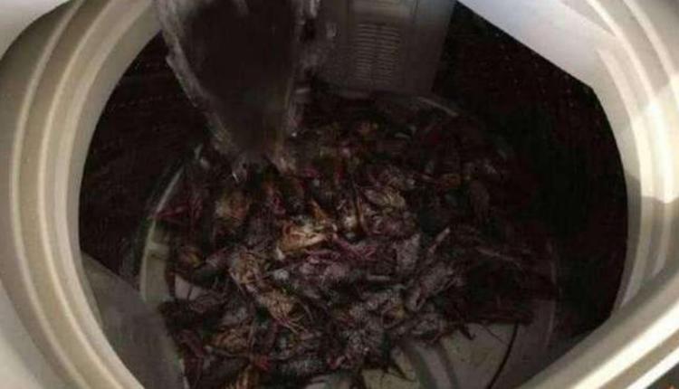 小龙虾倒进洗衣机