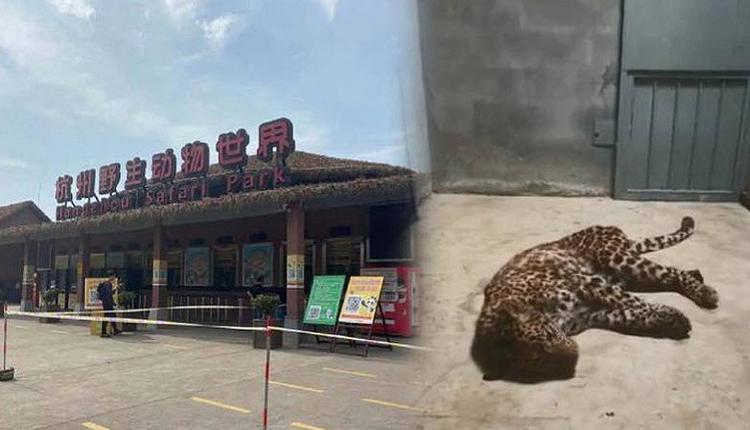 """金钱豹""""越狱"""" 动物园瞒报 只为五一的客流量"""