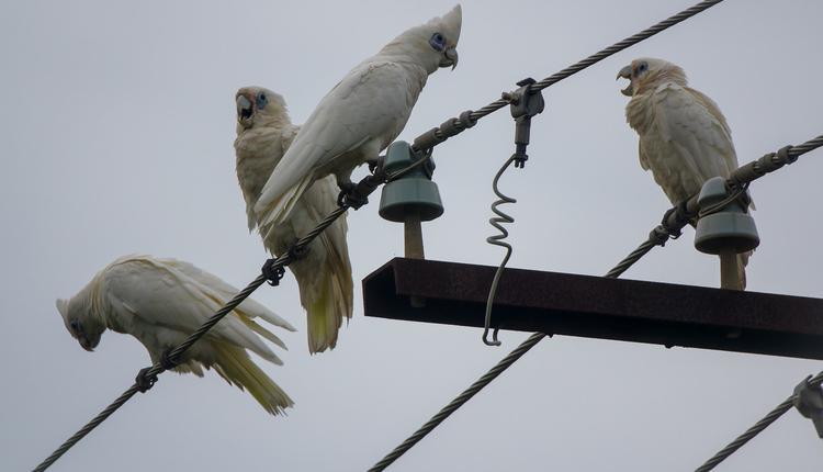 凤头鹦鹉,cockatoos,电缆,电线