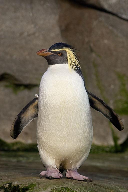 北跳岩企鹅