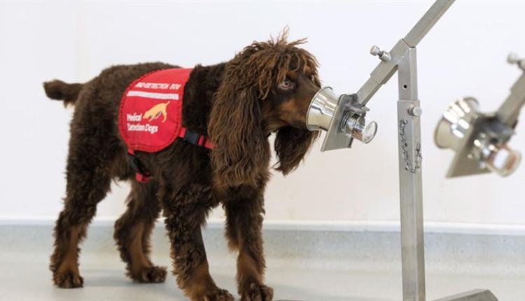 狗狗能经训练侦测出逾90%的COVID-19患者。