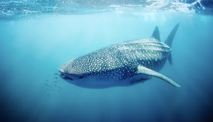 Exmouth,鲸鲨
