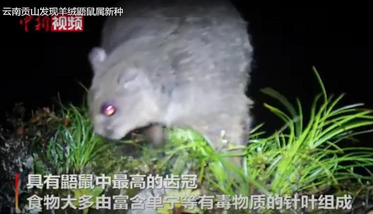 """云南发现鼯鼠新物种 借用""""雪山飞狐""""为之命名"""
