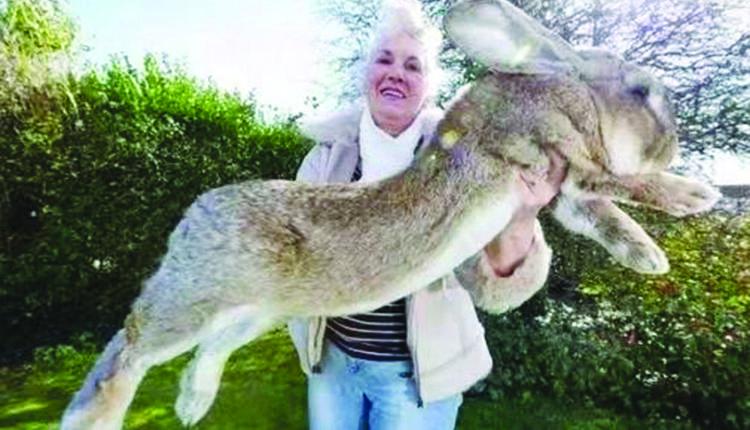 世界最大兔子