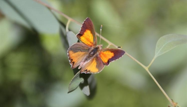 Eltham Copper蝴蝶,濒危动物