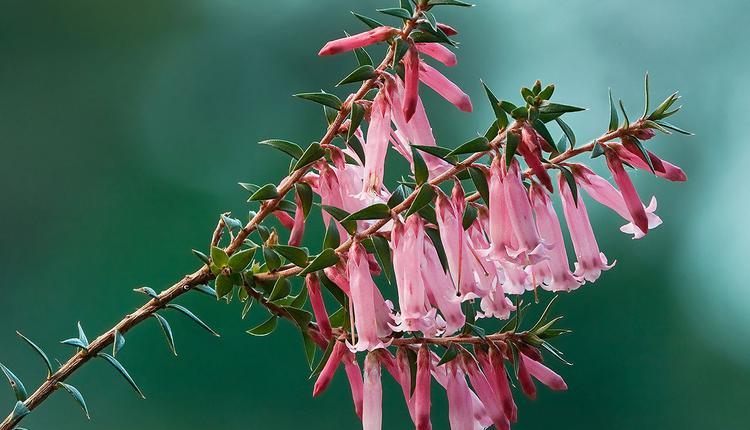 粉红石楠,Pink Heath