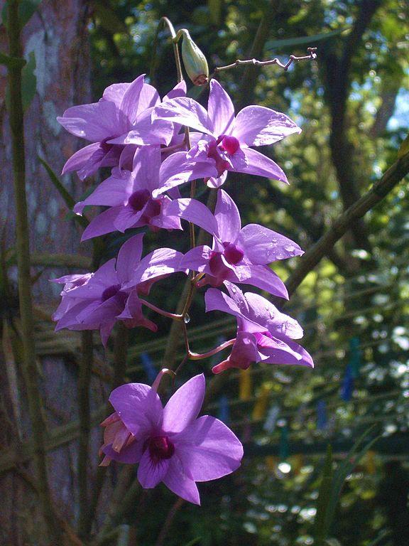 库克镇兰花,Cooktown Orchid