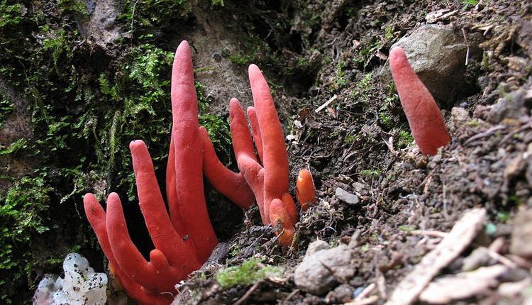 火珊瑚毒菌