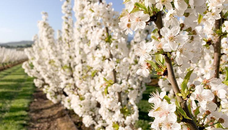 CherryHill Orchards供图