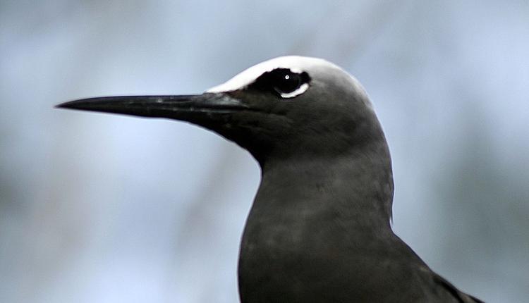 海鸟,黑玄燕鸥